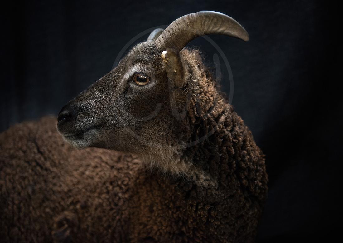 Soay-Sheep