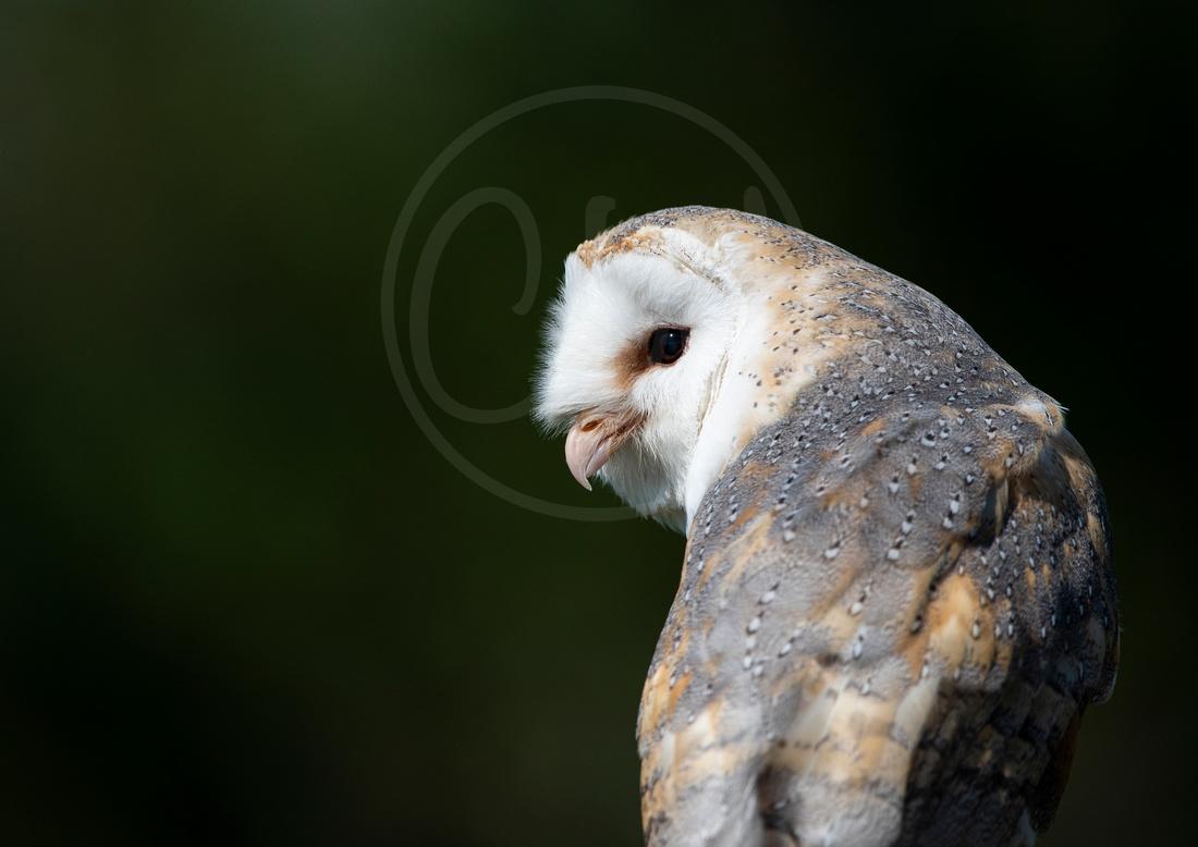 Good morning Barn Owl