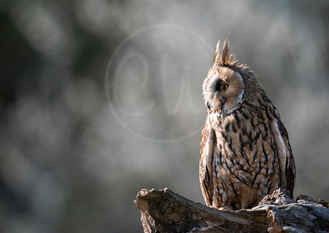Thoughtful Long Eared Owl