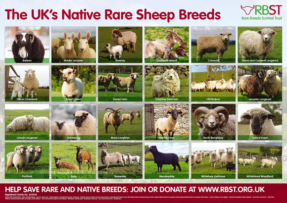 RBST Rare Breeds Sheep Identification Poster 2016