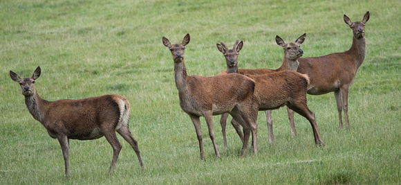 Group of Red Deer Does
